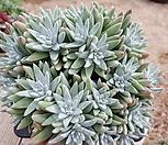 화이트그리니  자연군생21두|Dudleya White gnoma(White greenii / White sprite)