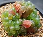 자옥로|Haworthia cooperi var obtusa (purple)