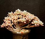 묵은 화립전(철화분지-5.21)|Pachyveria scheideckeri var. Albo-Carinata