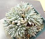 화이트그리니(13두 자연군생) 3-91 Dudleya White gnoma(White greenii / White sprite)
