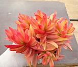 화제금 3-117 Crassula Americana cv.Flame