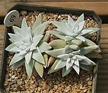 화이트그리니 3두 Dudleya White gnoma(White greenii / White sprite)