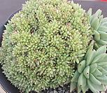 유통명 샤치철화|Echeveria agavoides f.cristata Echeveria
