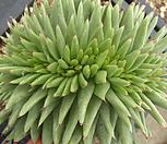샤치철화38|Echeveria agavoides f.cristata Echeveria