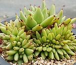 골드샤치철화 8205-1454|Echeveria agavoides f.cristata Echeveria