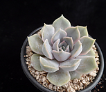 오리온691|Echeveria Orion