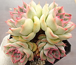 오리온(중) 23-54|Echeveria Orion
