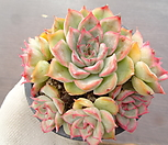 오리온 25-39|Echeveria Orion
