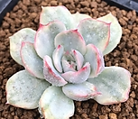 오리온금|Echeveria Orion