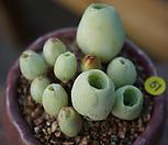 묵은기간티아한몸(사이즈확인) Greenovia diplocycla var.gigantea