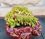 묵은 골드샤치 철화|Echeveria agavoides f.cristata Echeveria