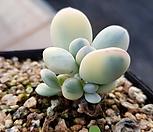 방울복랑금 군생(자구5개)|Cotyledon orbiculata cv variegated