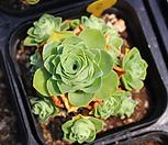 그라노비아 기간티아 자연군생 18 Greenovia diplocycla var.gigantea