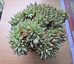 묵은 샤치철화|Echeveria agavoides f.cristata Echeveria