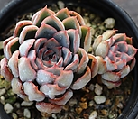 오리온 군생 A9435|Echeveria Orion