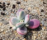 방울복랑금18(대형종 5두자연군생)|Cotyledon orbiculata cv variegated