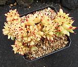 샤치철화0620|Echeveria agavoides f.cristata Echeveria
