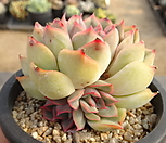 오리온(중) 33-168|Echeveria Orion
