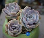 묵은블루서프라이즈한몸|Echeveria Blue Surprise