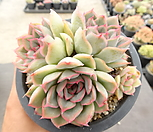 오리온 34-71|Echeveria Orion