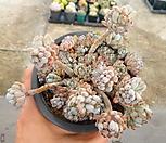 블루빈 34-254|Graptopetalum pachyphyllum Bluebean