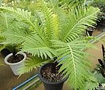 실버레이디해고-2개묵은대품고사리과로1급 공기정화 아토피에 좋은 식물|
