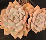 오렌지먼로묵은둥이 239122|Echeveria Monroe(Orange)