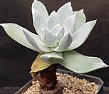 환엽블러프레쳐스 623-4|Dudleya farinosa Bluff Lettuce