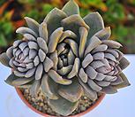 알피니스그레이왕목대(K172)|Echeveria Silver Queen