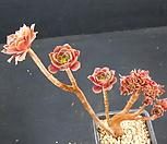 에오니움철화 (한몸묵은둥이) 0623-14|Aeonium canariense