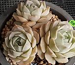 플뢰르블랑크|Echeveria Fleur Blanc