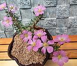 피터소니대품(아프리카식물)|Echeveria Peter