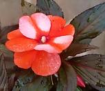 이태리봉숭아(대품) 주황색꽃이 피고지고해요|