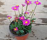 사계국화(핑크색국화) 꽃이 귀요미에요|