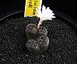 XP2126-C.pellucidum Mesklip産  메스크립산  연한노랑꽃 2두
