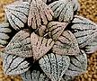 픽타 소정(小町) 소묘 ( Haworthia picta Komachi, offset)