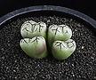 XP2133-Conophytum cv.안수희安秀姬 4두