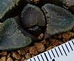 브루인시 (희귀 원종) (Haworthia bruynsii. ex. Japan)