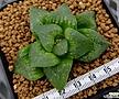 문수(紋?) (오리지널) (Haworthia Monju, offset)