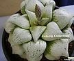 픽타 백박자(百拍子) 소묘 (Haworthia picta Shiro-byoshi)