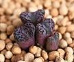 swanepoelianum rubrolineatum 4두 (일본수입)