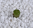 XP2249-Conophytum ectypum ssp. cruciatum CR.1370  크루시아튬