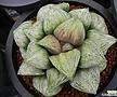 나이아가라 소묘(Haworthia splendens hyb. Naiagara, offset)