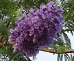 자카란다(보라빛벚꽃)