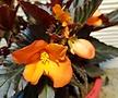 주황색꽃이핀 베고니아 (생명력이 강한아이에요)