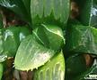 피그마에아(핑크빛으로물듬)-종자-뿌리듬실  하월시아-싸이즈모두 비슷해요