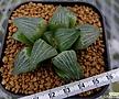 대명경(大明鏡)실생 (Haworthia Daimeikyo seedling)