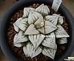 가네코 백은수퍼 픽타 (Haworthia picta Hakugin Super, offset, ex.Kaneko)