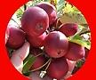 알프스오토매 결실주/화분에서 키우는 과일나무/미니사과나무
