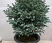 블루버드 제주삼나무